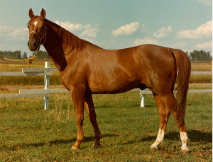 Image of Hanoverian stallion, Abrupt