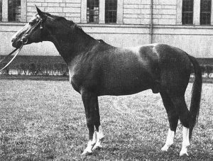 Image of Trakehner stallion, Abglanz