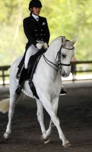 Canadian Warmblood gelding, Bellagio with rider, performing dressage