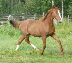 Image of Touchstone Farm's warmblood colt, Bene Salto, trotting in a grassy field.