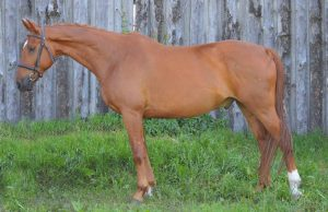 Image of Canadian Warmblood Gelding, Captain Morgan standing in front of a wooden wall.