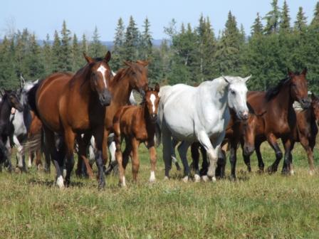 Mares with foals in a grassy field 2007