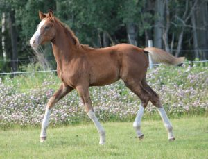Touchstone Farm foal, Monami, trotting in grassy field.