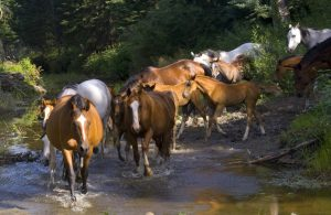 Touchstone herd crossing the Paddle River.